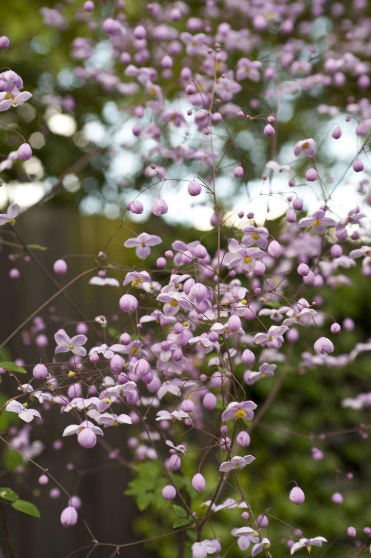 darsham_nurseries_kevin_foord_thalictrum_gardenista_KF11563