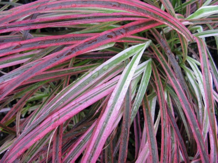 field-guide-pennisetum-fireworks-closeup-gardenista