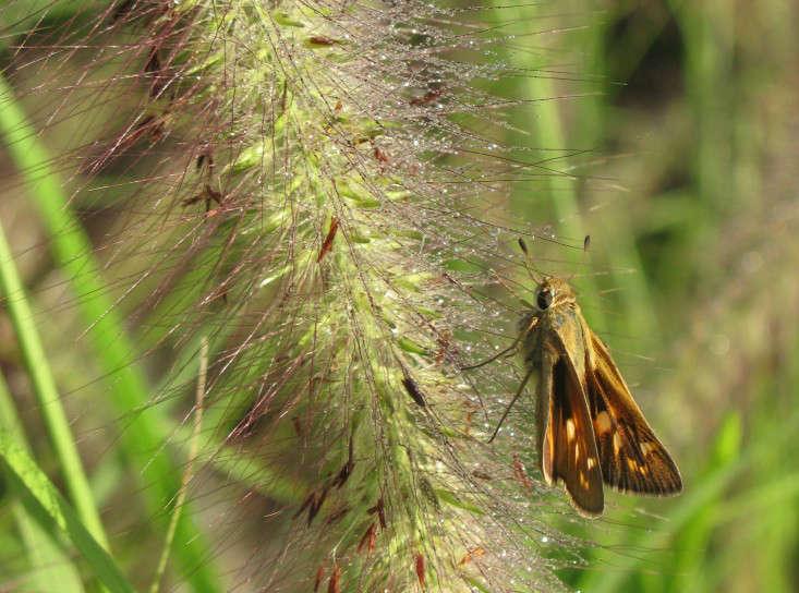 field-guide-pennisetum-redhead-butterflycloser-gardenista