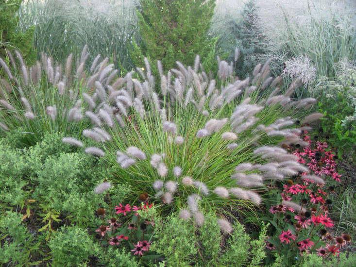 field-guide-pennisetum-redhead-gardenista