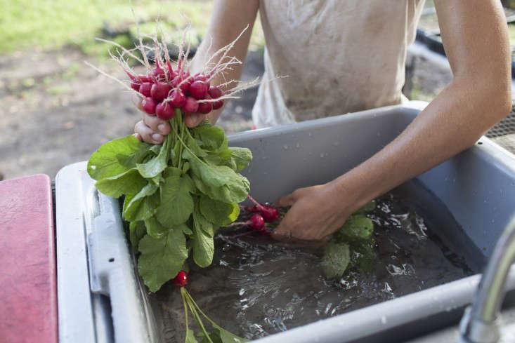 greyfield-inn-radishes-harvest-2-gardenista