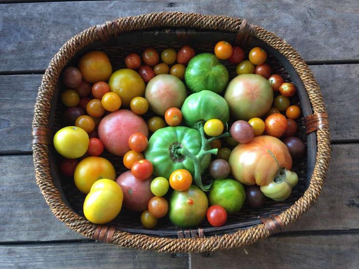 greyfield-inn-tomato-harvest-gardenista