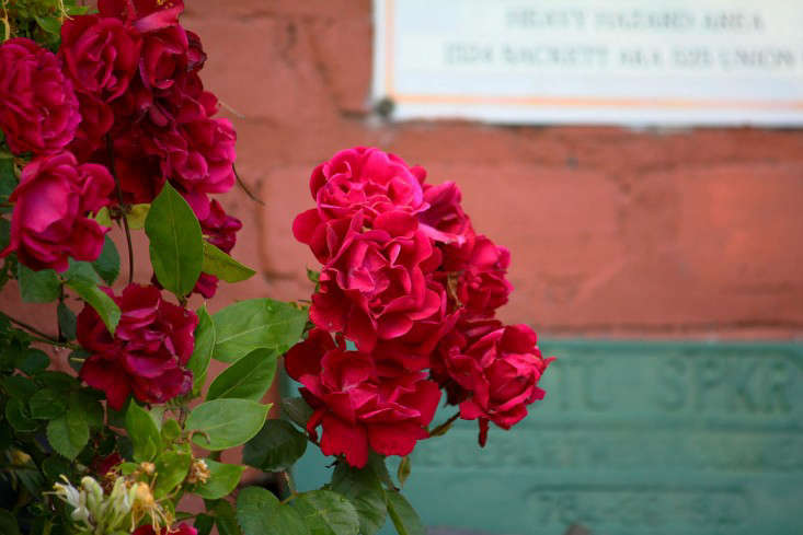 rose3_marieviljoen