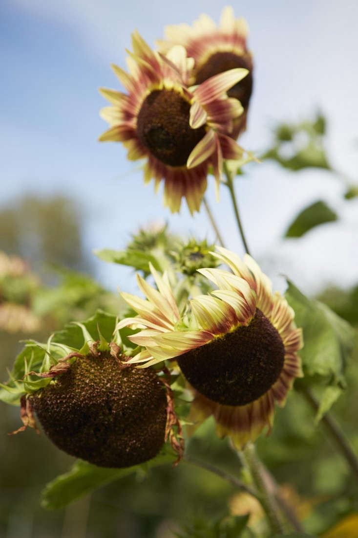 Sunflowers (Helianthus). Photograph by Britt Willoughby Dyer. For more, see Field Guide: Sunflowers.