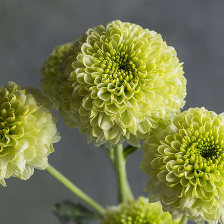 sunset-chrysanthemums-feeling-green-gardenista-obsessions