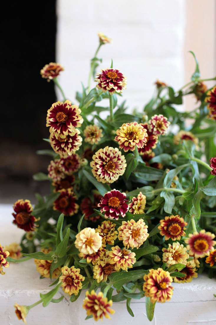 Creating new zinnia cultivars was once big business in the United States. Have you heard the story about Luther Burbank?