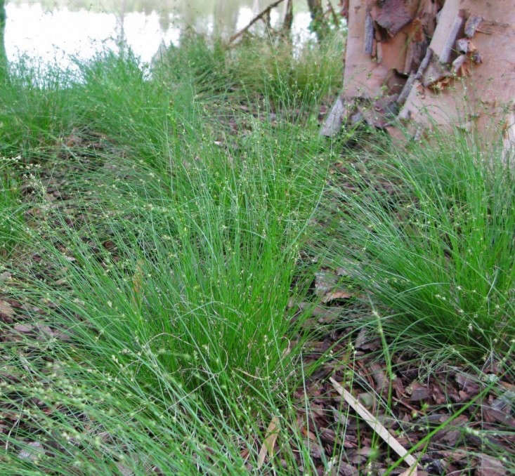 SomeCarexspecies (sedges) require damp or wet conditions while others are relatively drought-tolerant.Carex appalachica, above,is native to woodlands in the eastern United States. Photograph courtesy of Hoffman Nursery, from Gardening loading=