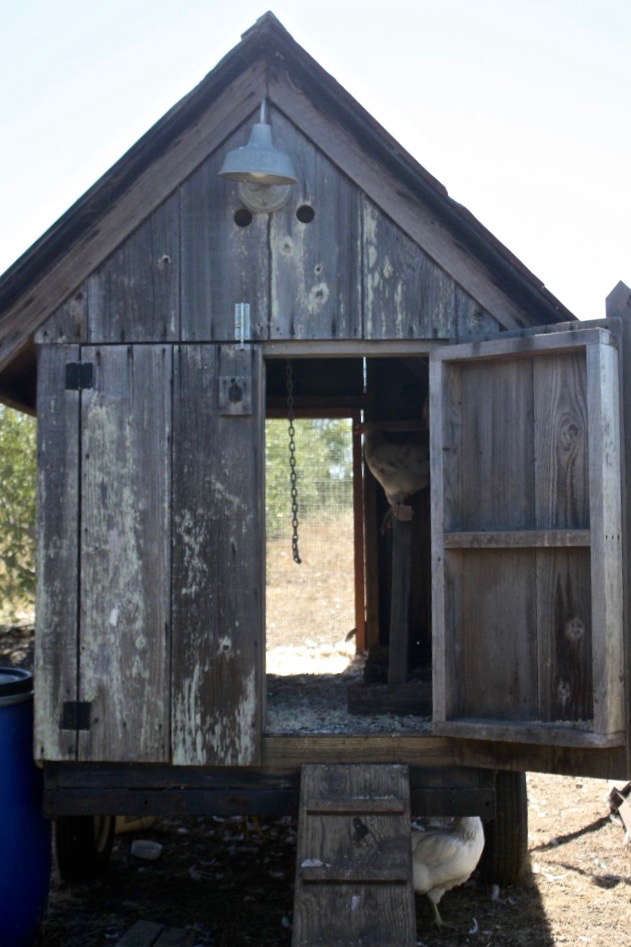 Chicken-Coop-Spring-Coyote-for-Gardenista-by-Sylvia-Linsteadt-683x1024