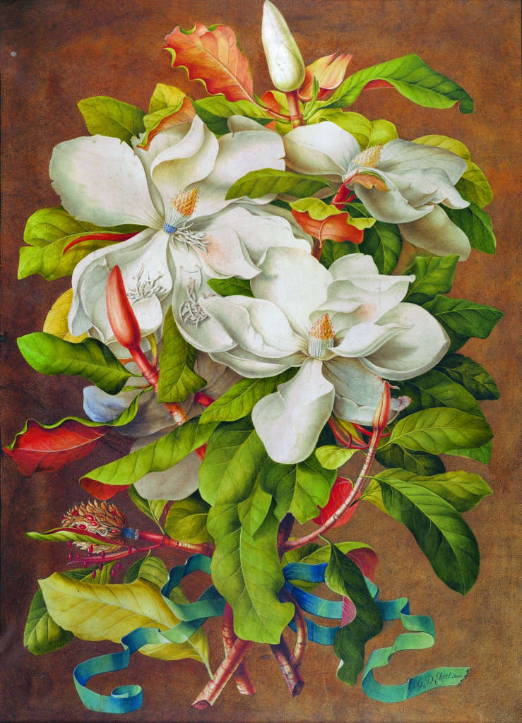 Mellon-Ehret-Magnolia-grandiflora-painting-NYBG-botanical