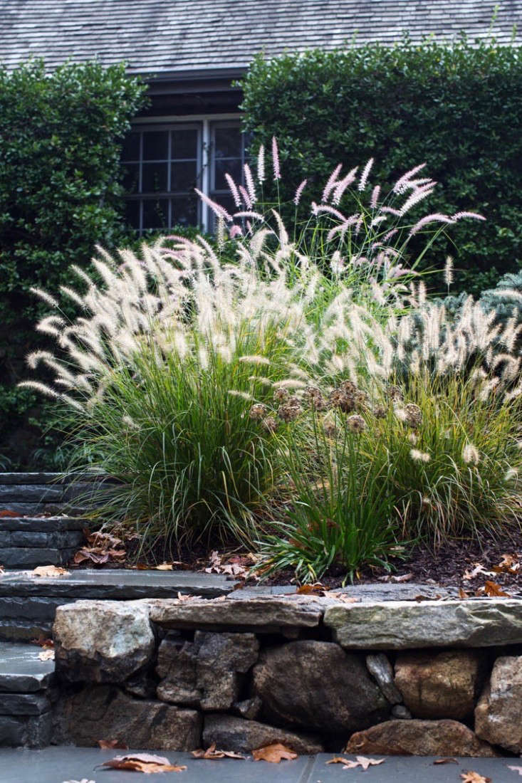 Fountain grasses Pennisetum orientale 'Karley Rose' and Pennisetum alopecuroides flank the new walkway. Miscanthus sinensus &#8