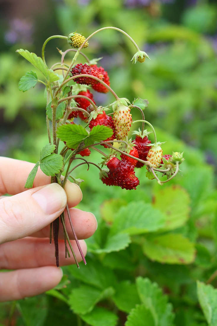 See more in Tiny Gardens: 66 Square Feet for Alpine Strawberries in NYC. Photograph by Marie Viljoen.