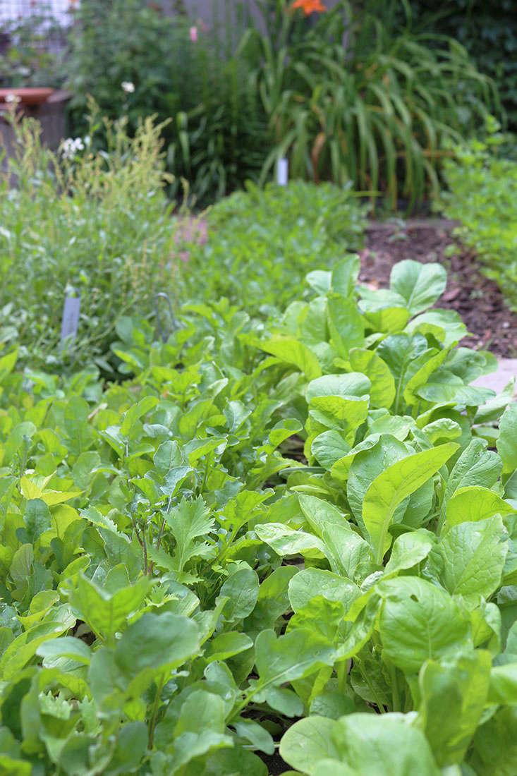 arugula-grows-in-shade-marieviljoen