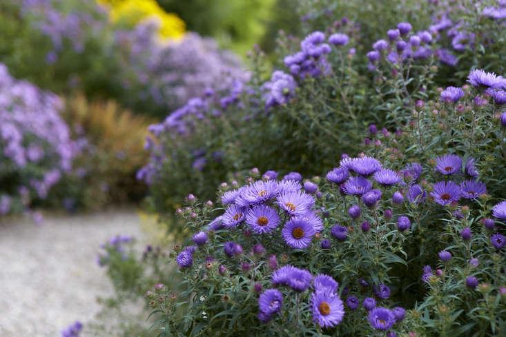 S. novae-angliae 'Barr's Purple'.