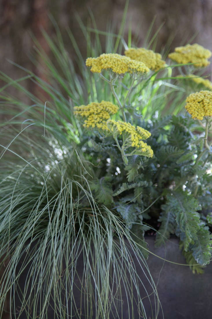 Carex 'Amazon Mist' pairs with a golden yarrow in this container planting