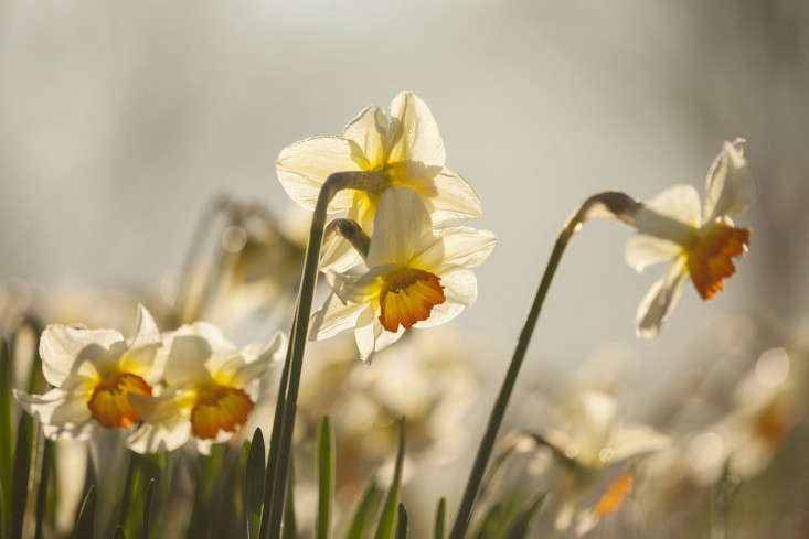 PETTIFERS, OXFORDSHIRE: DESIGNED BY GINA PRICE: CLOSE UP PLANT PORTRAIT OF THE WHITE AND ORANGE FLOWER OF DAFFODIL - NARCISSUS JOHANN STRAUSS. DAFFODILS, SPRING, FLOWERING, BULB