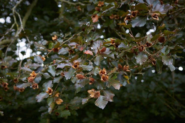 Copper beech tree in England