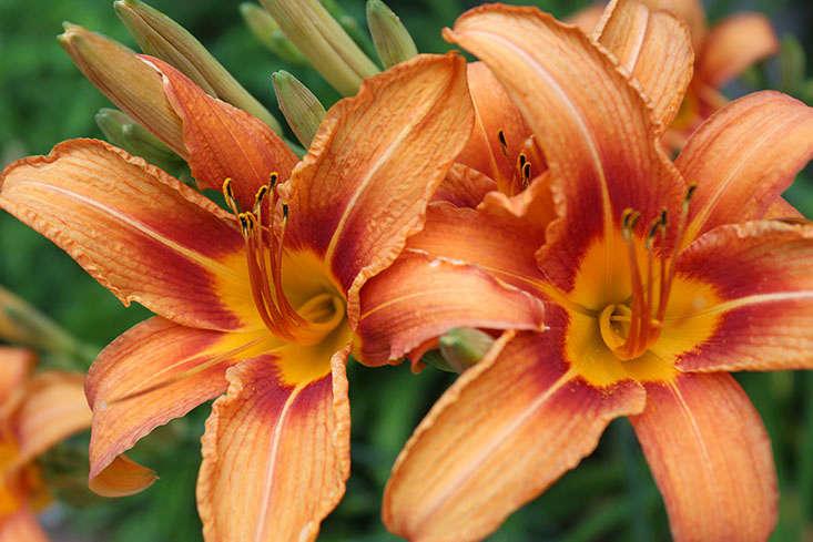 day-lilies-are-edible-marieviljoen