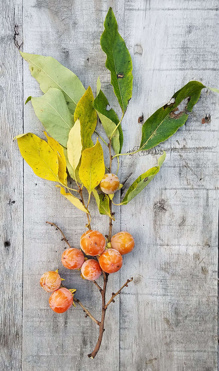 The obvious ornamental appeal of a persimmon tree is its spectacular display of fruit clinging to bare branches well after leaves have dropped. Persimmons are low-maintenance and fairly drought-tolerant.