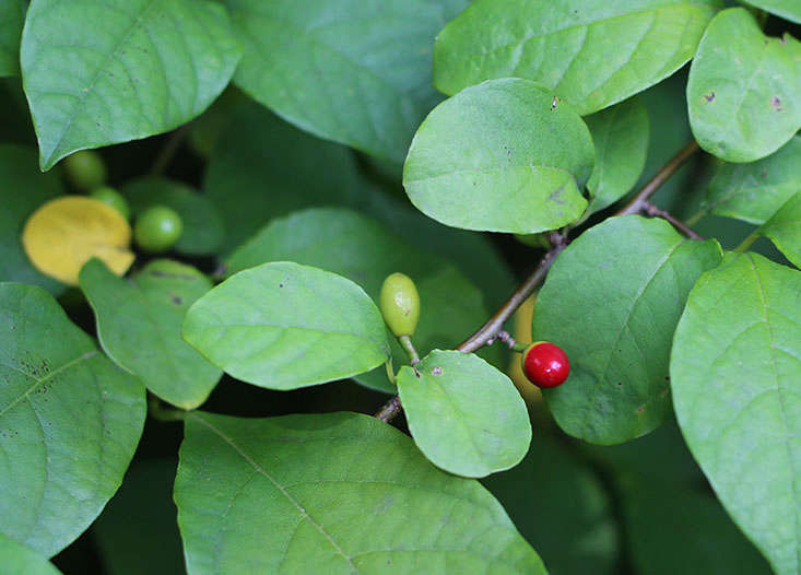 edible-plants-for-shade-marieviljoen