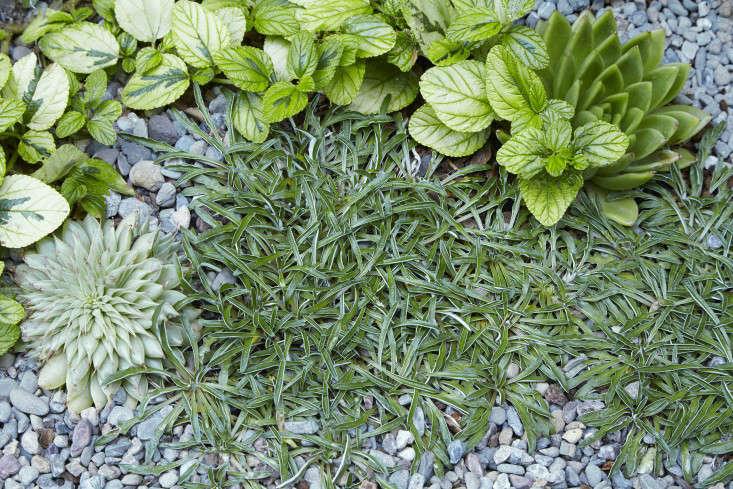 Dymondia margaretae spreads amid ceanothus and succulents.
