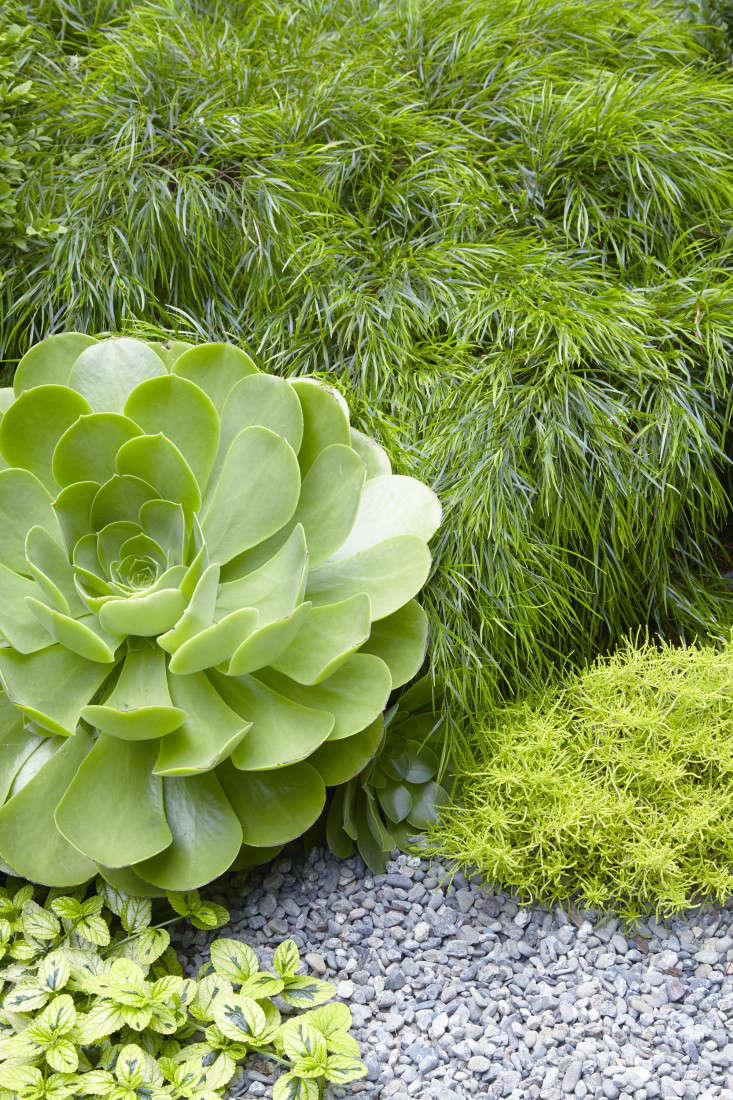 Uplifting amid the gravel are the non-trunking Aeonium &#8