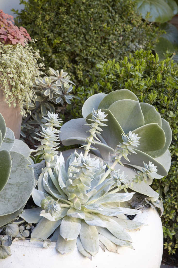 Incontainers, Grubb plantedspiked Dudley brittonii and Cotyledon &#8