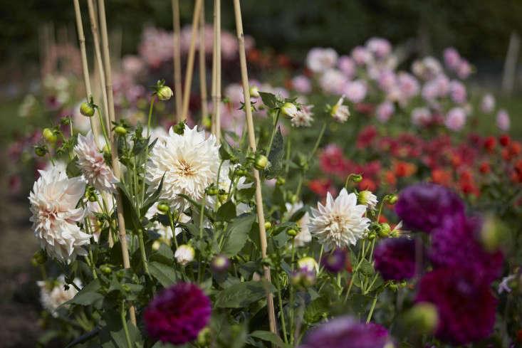 florist-studio-dahlias-stakes-tamara-hall-britt-willoughby-dyer-BN2A0110