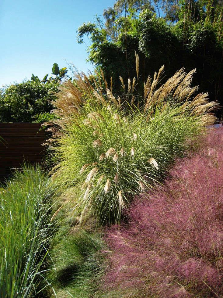 griffin-enright-perennials-grasses-muhlenbergia-gardenista