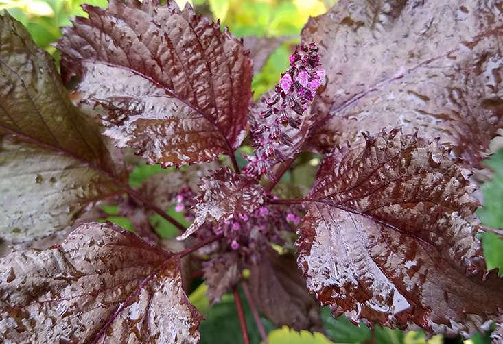 herbs-to-grow-in-shade-marieviljoen