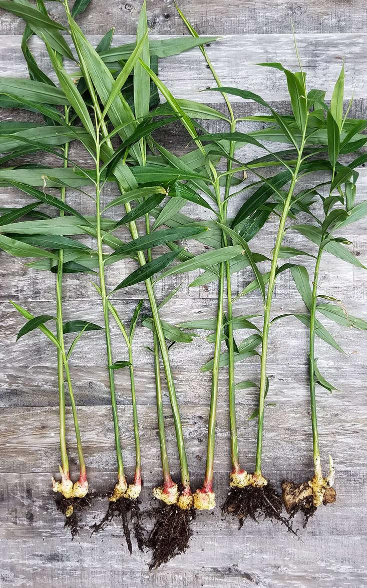how-to-grow-ginger_marieviljoen