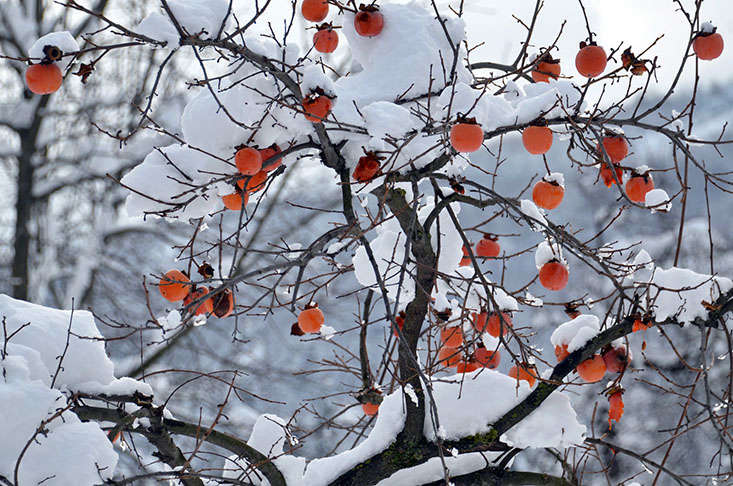Who needs holiday decorations? Asian persimmon species and cultivars are hardy from USDA zones 7 to \1\1. In cities where artificial heat island effects create warmer microclimates, you may be able to cheat, a little. Photograph by Robert Jackson via Flickr.