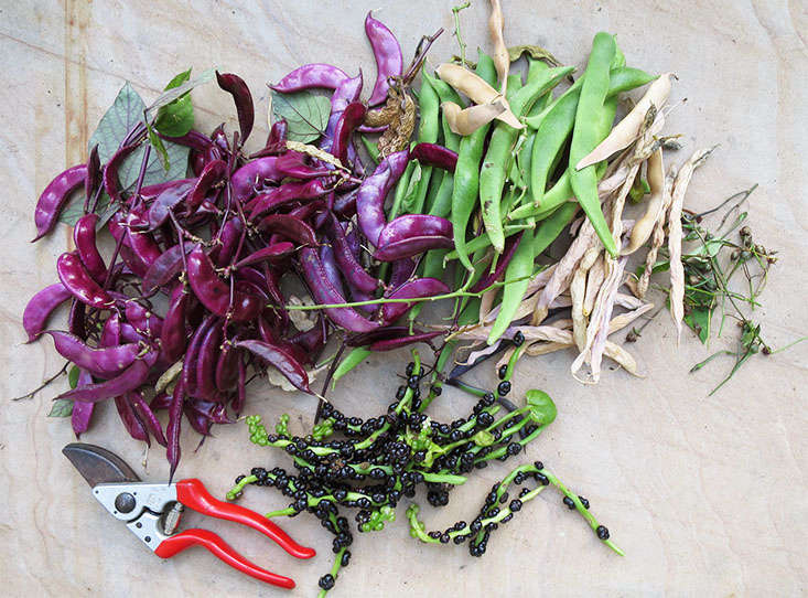 Reduce next year's seed-buying budget by saving your own seed. Allow beans and peas to dry before shelling and storing them.