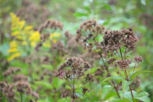 It is tempting to remove every seedy flowerhead standing, but many of these seeds feed passing birds, and others have ornamental value. Assess what stays and what goes. Leave liatris and ironweed, but harvest your gangly fennel&#8