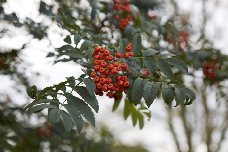 sorbus-trees-britt-willoughby-dyer-BN2A0099