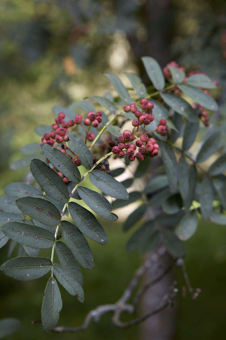 sorbus-trees-britt-willoughby-dyer-BN2A0243