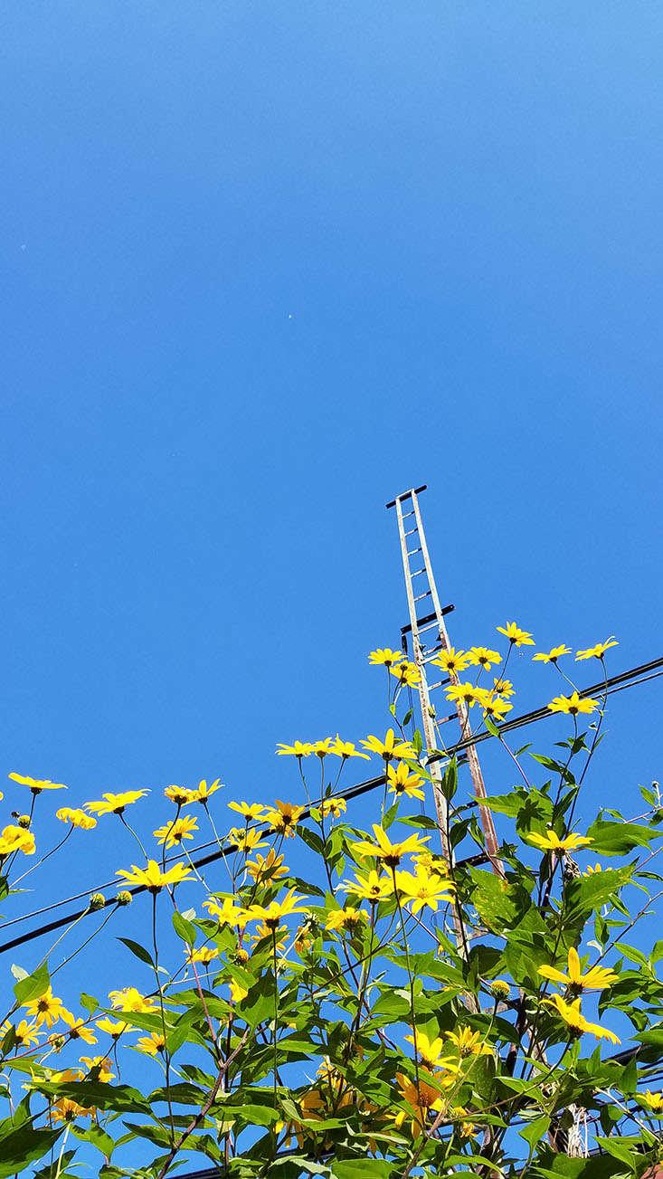sunchoke-flower-marie-viljoen