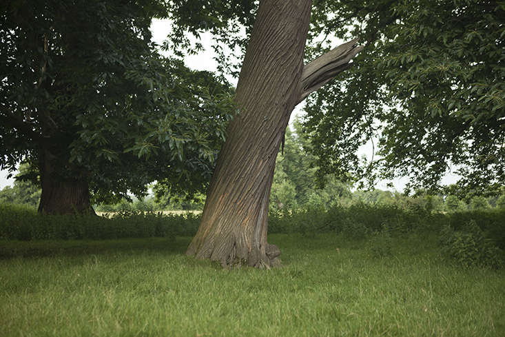 Sweet chestnut tree and bark at Burghley House, Lincolnshire