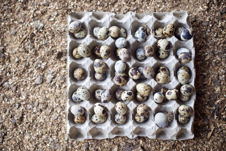 Quails eggs, The Pig, Combe