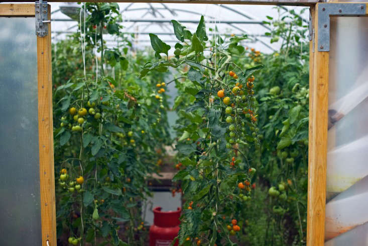 Tomato polytunnel at The Pig, Combe