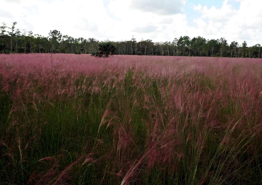 Muhlenbergia-pink-albert-herring-wikimedia