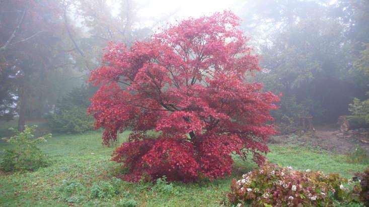 Acer palmatum at Batsford Arboretum