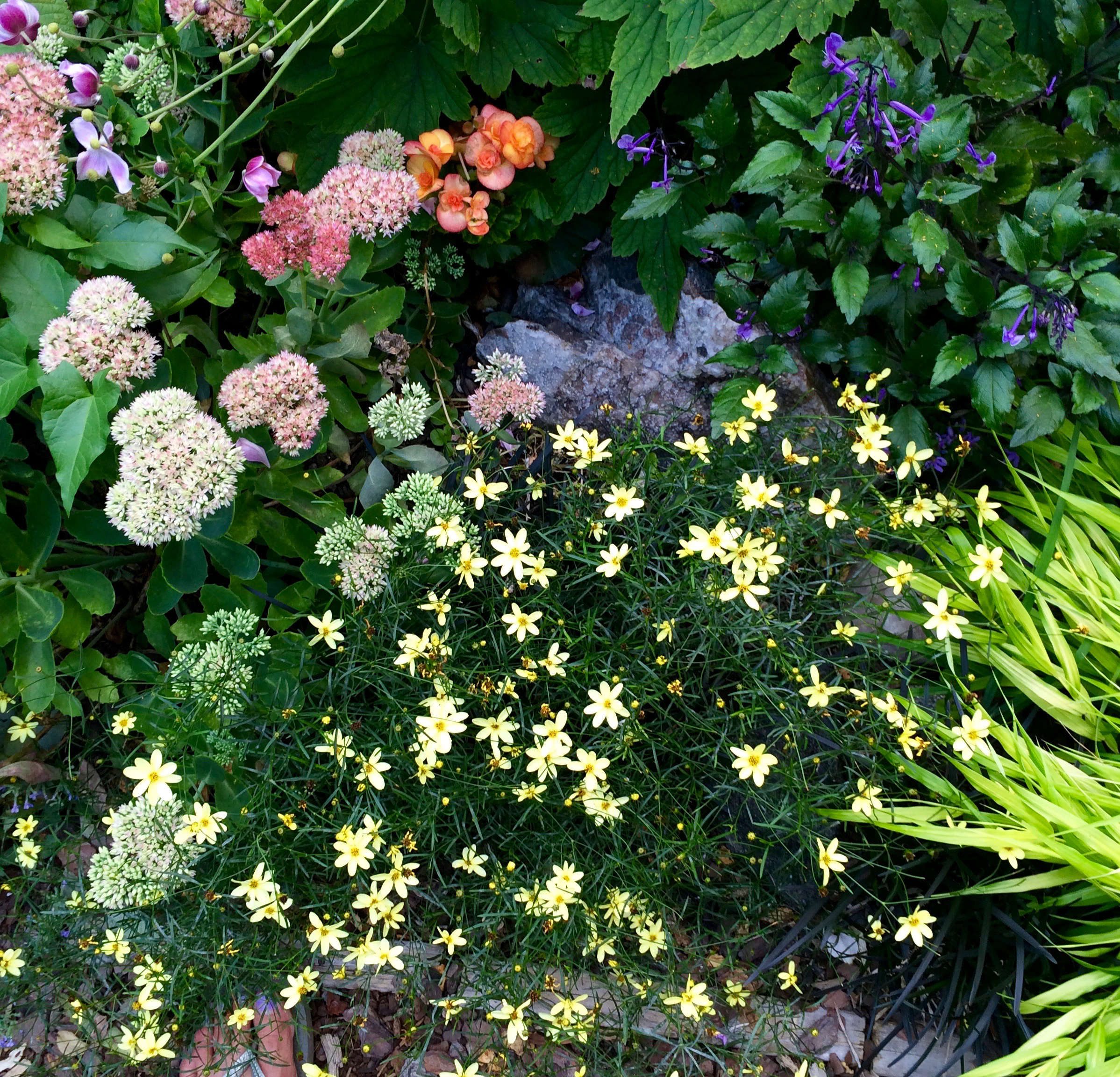 Gardeners are free to plantwhatever they like best. Here, aplot holder combinedpale-pink Japanese anemone, sedum, waxy orange begonias, and purple Plecanthrus 'Mona Lavender', andfilled in the foreground withCoreopsis verticillata 'Moonbeam' and Japanese forest grass (smacra 'Aureola'). The garden also places a group order of several dozen annuals, including nicotiana, coleus, and Euphorbia 'Breathless White,' each spring from the Long Island Nursery Beds & Borders to ensure there&#8\2\17;s at least some continuity amongthe beds.