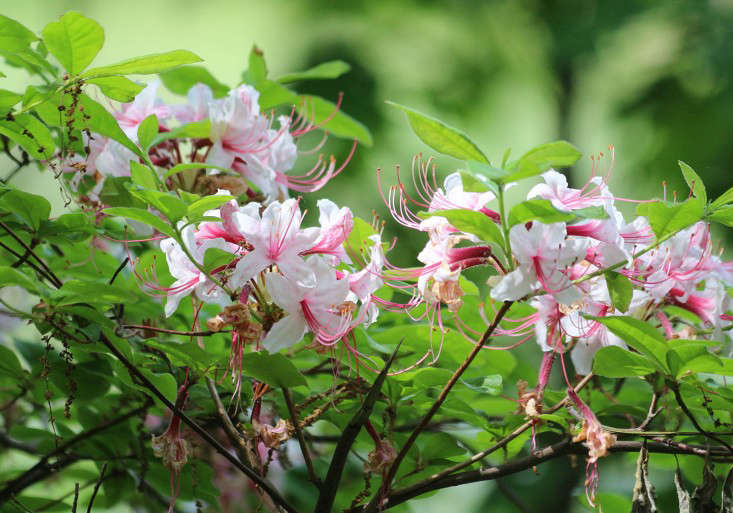 azaleas-marie-viljoen