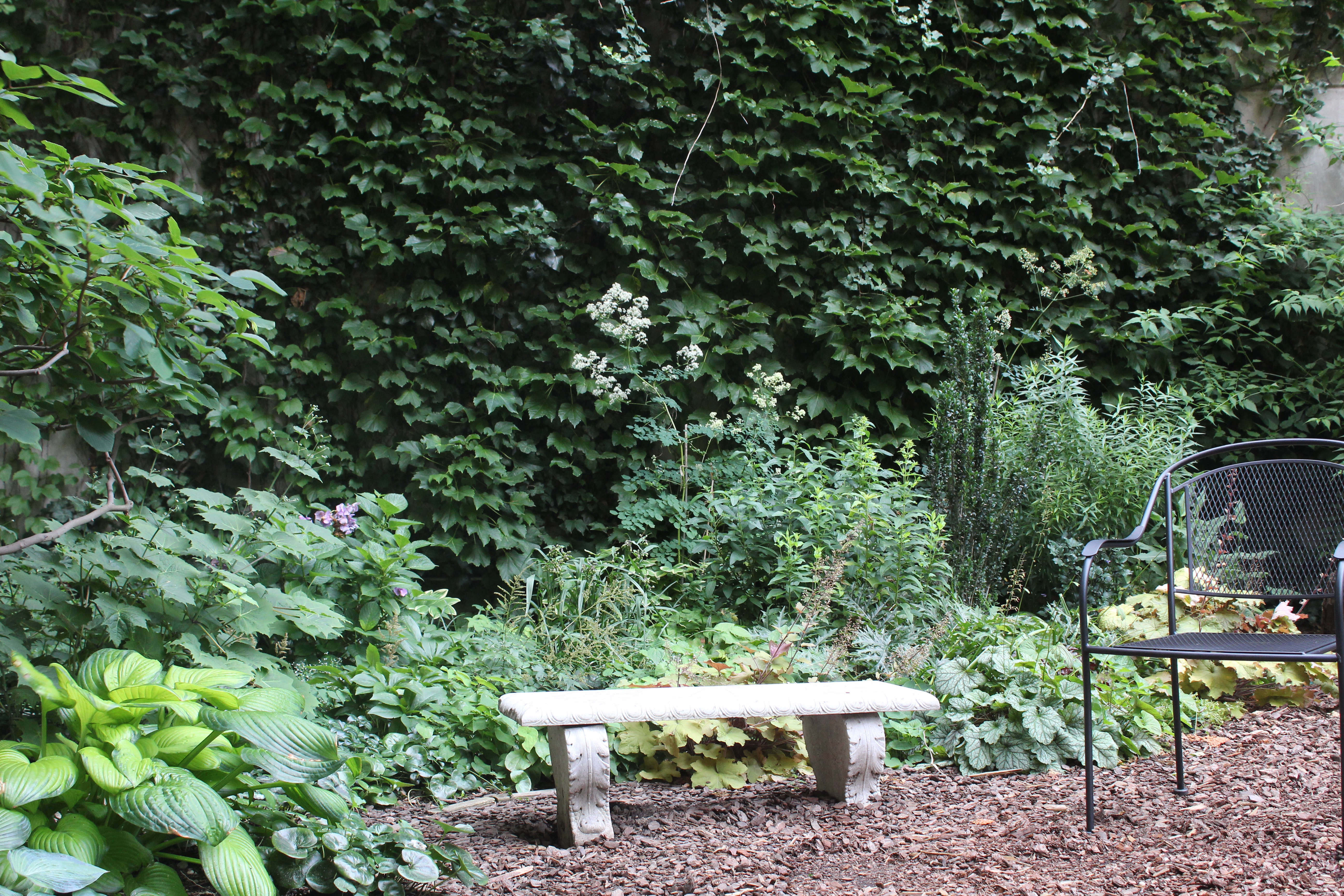 Set against a backdrop of English ivy, a plot in the garden's shady southwest corner features astilbe, hydrangeas, hostas, European wild ginger (Asarum europaeum), and a mix of Heucheras, or coral bells.