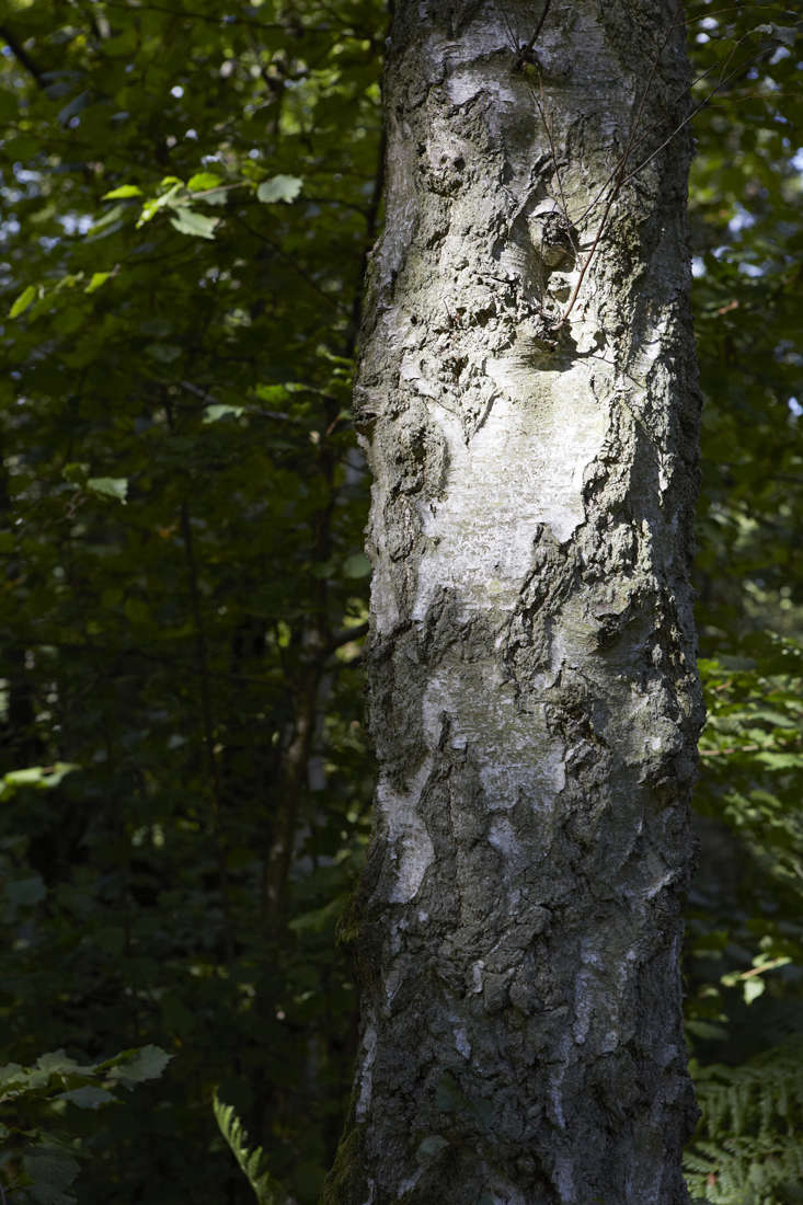 A birch tree can be shaped by removing lower branches, in other words by raising the canopy. If smooth bark is desired, it&#8