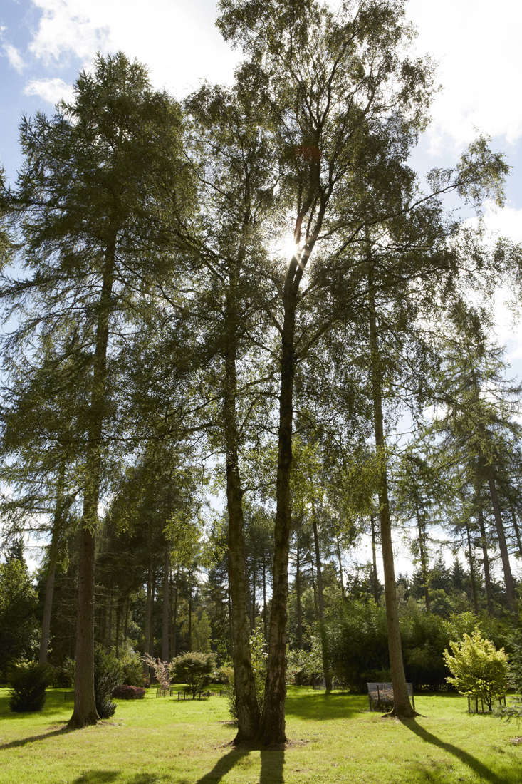 The canopy of birch recommends it particularly as a garden tree. Shade is light, and in spring the bright unfurling leaves are preceded by catkins. In autumn, leaves are usually yellow, contrasting with vivid bark and dark twigs. In winter the tree trunks take over, glowing in the gloom or peeling interestingly.