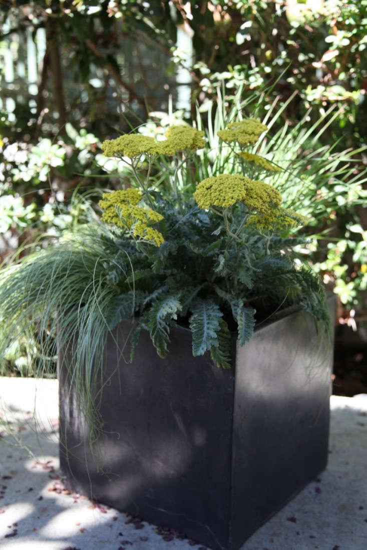 carex-comans-yellow-yarrow-square-planter-meredith-swinehart