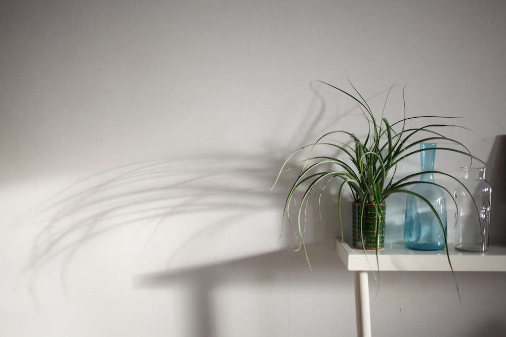 On a shelf, an air plant lives in an empty metal can.