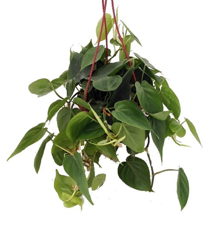 Heart Leaf Philodendron($.50 from Jet) can grow in a suspended pot or basket.