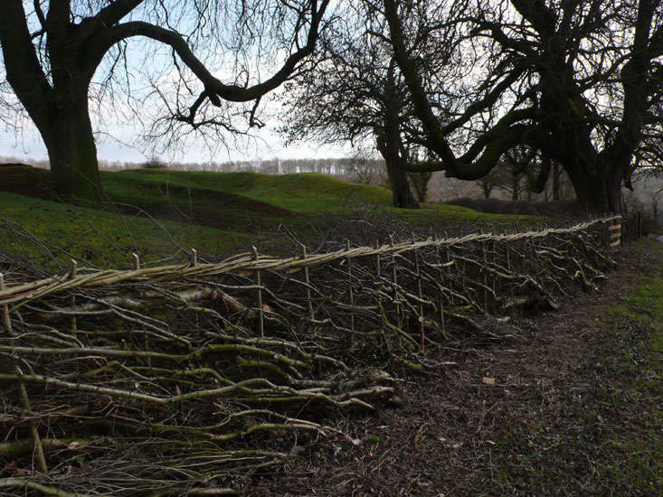 Laid hawthorn hedge, Rutland